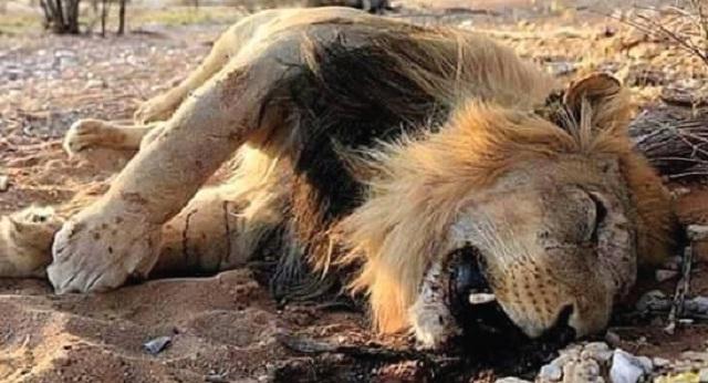 Lion-dead