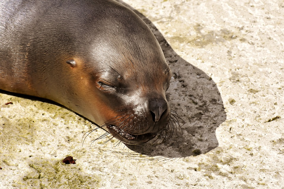 Sea Lion Water Seal Sleep Robbe Meeresbewohner